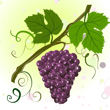 bunch of grapes: branch of grapes Illustration