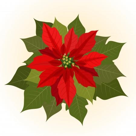 flor de pascua: Poinsettia flores para Navidad