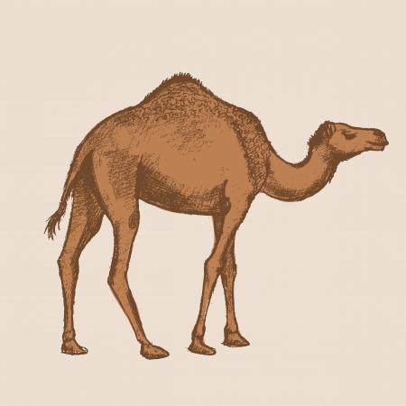 camello: dibujo del arte camello Vectores