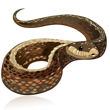 venomous snake: Beautiful realistic brown snake Illustration