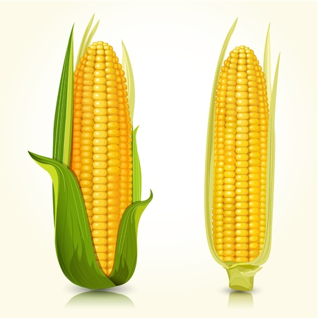 maize: Ripe corn on the cob Illustration