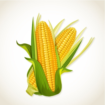 Ripe corn on the cob Vector
