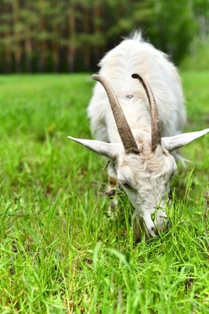 goat grazing in a meadow photo