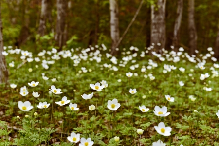 forest flowers anemone photo