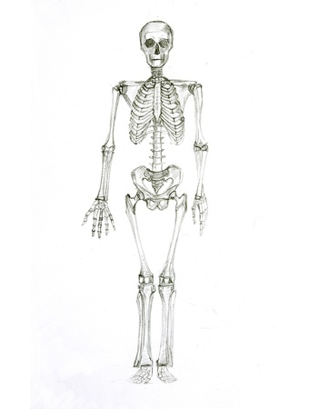 Pencil sketch a skeleton photo