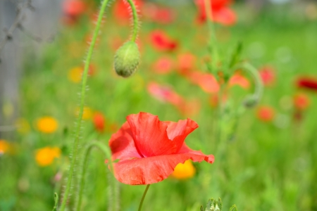 field of blooming poppies photo