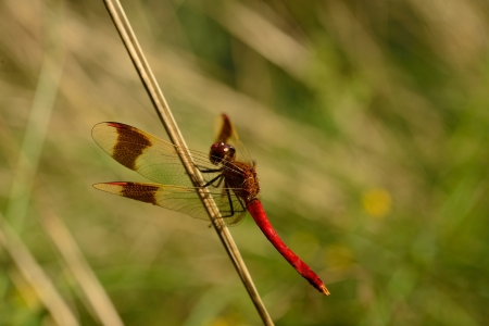 dragonfly on a blade of grass photo