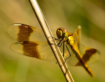 anisoptera: dragonfly on a blade of grass