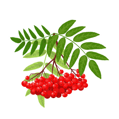 Branch red ash Vector