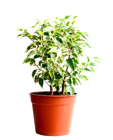 Home flower in a pot. ficus benjamina photo