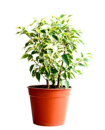 Home flower in a pot. ficus benjamina photo