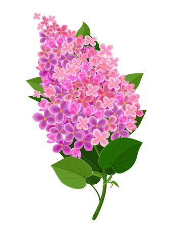 flor aislada: Flor de la lila aislado