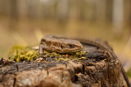 common lizard photo