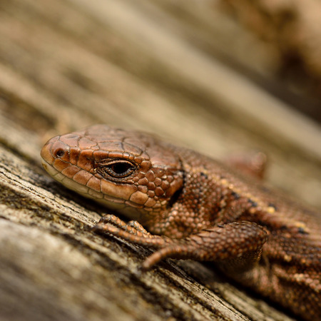 viviparous: common lizard