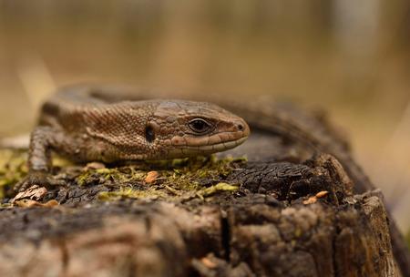 animal viviparous: common lizard