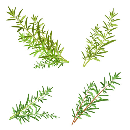 herbs of provence: bunch fresh rosemary herb isolated set Illustration
