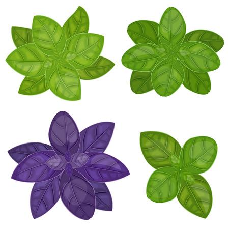 basil herb: fresh basil herb isolated set