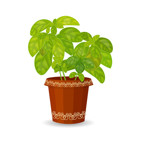 basil leaf: fresh basil herb in a flower pot Illustration