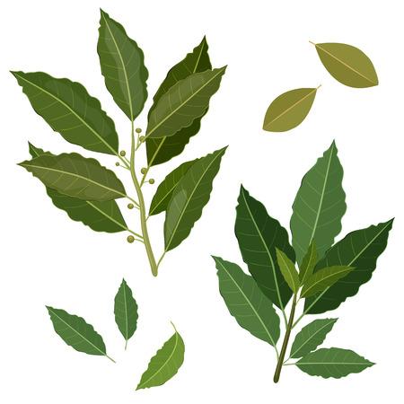 bay: twig fresh bay leaf herb isolated set Illustration
