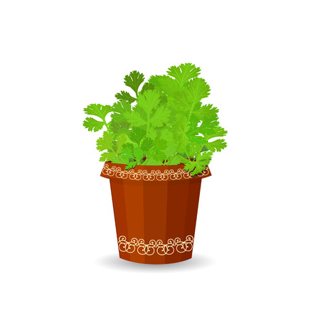 Parsley in a flower pot Illustration