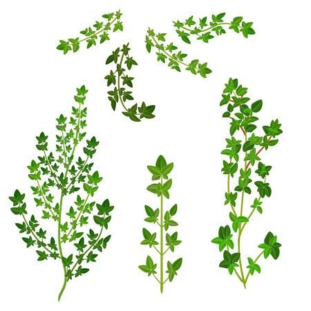 tomillo: manojo de tomillo fresco hierba aislado conjunto Vectores