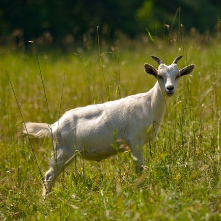 Goat - a symbol of 2015 on the Chinese calendar photo