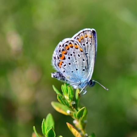medow: Blue butterfly on the grass. Plebejus argus
