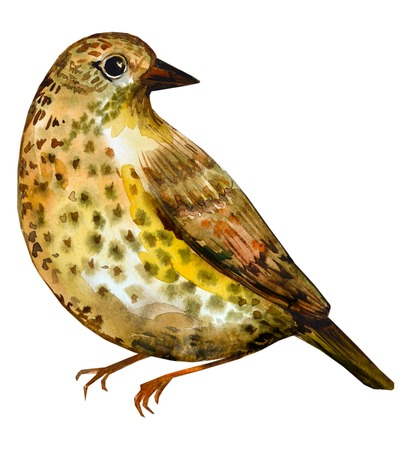 thrush: watercolor drawing of bird