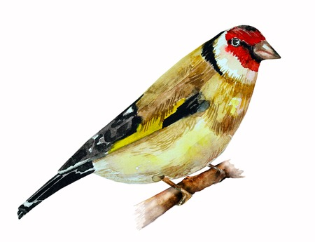 goldfinch: watercolor drawing of bird