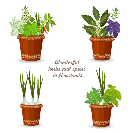 basil herb: collection of herbs in a flowerpots