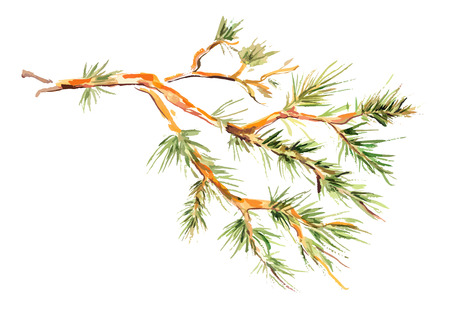 pine tree branch: watercolor painting - pine branch. vector illustration