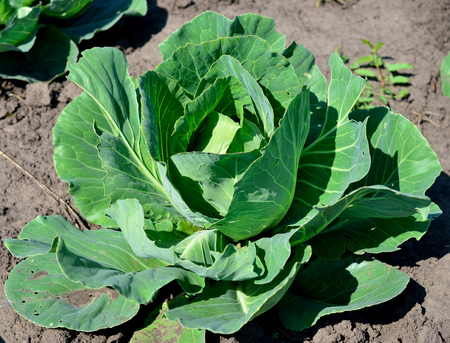 cabbage patch: Plant vegetable cabbage Stock Photo