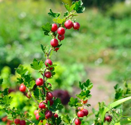 shrub: gooseberry berry delicious on deciduous shrub Stock Photo