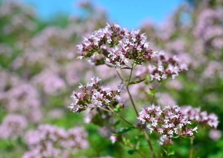 origanum: Medicinal plant and spice. Origanum vulgare