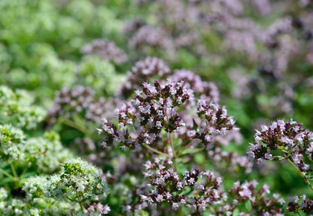 origanum: Aromatic herbs in the natural environment. Origanum vulgare