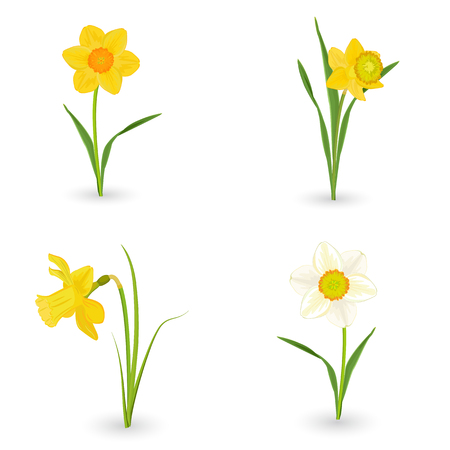 yellow flower: collection lovely daffodils. spring flowers for your design