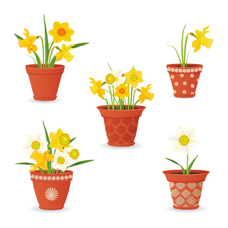 planted: collection of daffodil planted in ceramic pots for your design
