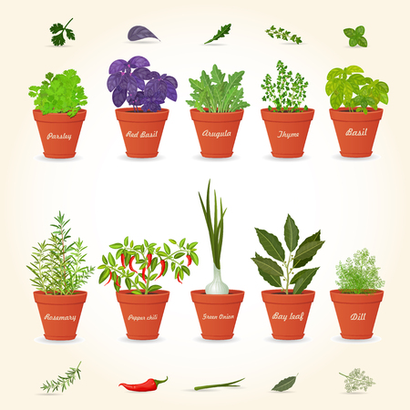 basil: organic gourmet collection of different herbs planted in ceramic pots and fresh herb leaves and spices for your design Illustration
