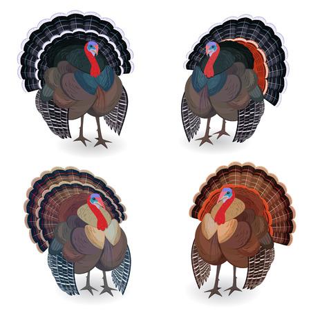 turkeys: Collection of Turkeys for your design Illustration
