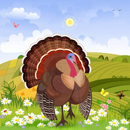 turkey cock: beautiful turkey in rural scenery