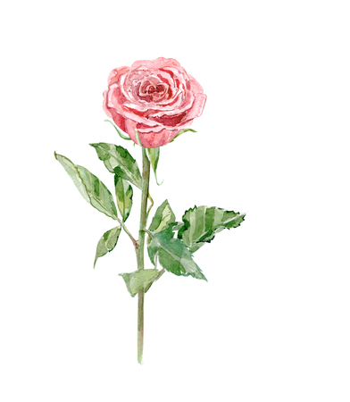 stalk: rose on white background. watercolor painting Stock Photo