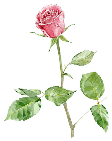 rose: pink rose. watercolor painting