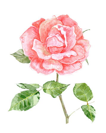pink rose flower for your design. watercolor painting