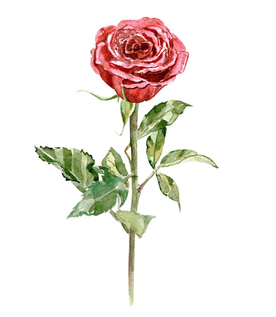 stalk: stylised red rose on white background for your design. watercolor painting