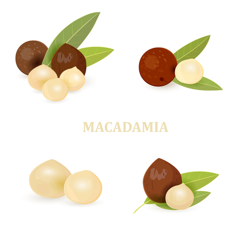 collection groups of macadamia with leaves for your design Illustration