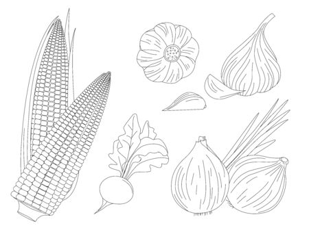 collection of fresh vegetables. onion, corn, radish and garlic for your coloring book
