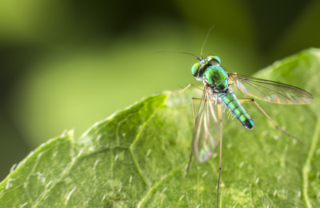 long legged: Green Long Legged Fly perched on a plant leaf. Stock Photo