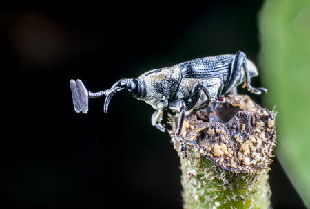 hylobius: Close-up of weevil