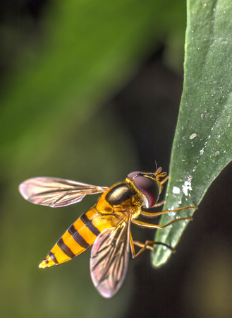 syrphid fly: Hover Flies