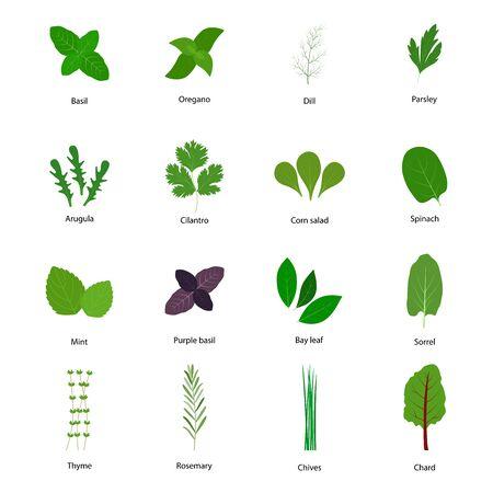 zioło, warzywa, kulinarny, zestaw, wektor, ilustracja, boćwina, bazylia, fioletowa bazylia, pietruszka, koper, oregano, tymianek, rukola, szczaw, szpinak, kolendra, roszponka, mięta, liść laurowy, szczypiorek, rozmaryn, jedzenie, zdrowy ziołowy, liść, organiczny, gotowanie, roślina, świeży, aromatyczny, odizolowany, element, przyprawa, przyprawa, składnik, przyprawa, raczyć, graficzny, symbol, ogrodnictwo Ilustracje wektorowe